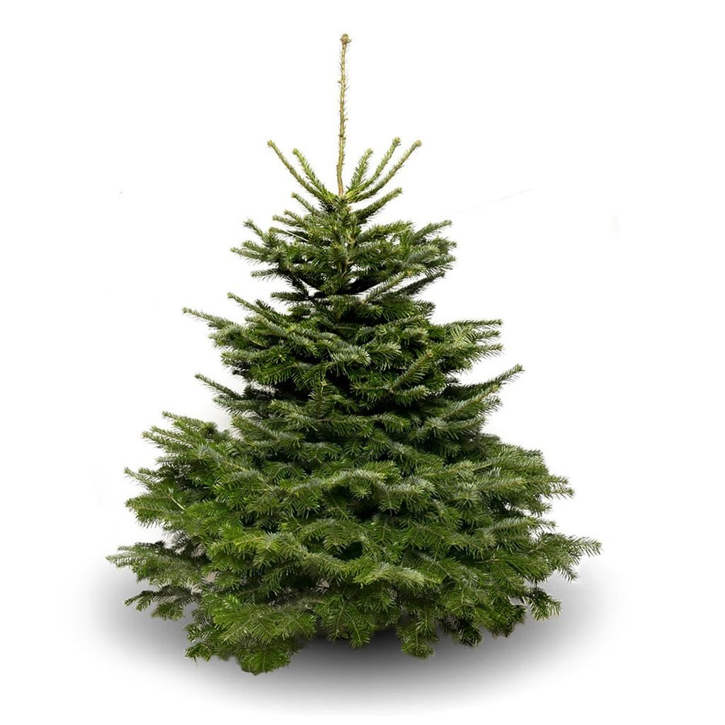 Illustrative image of Nordman Fir